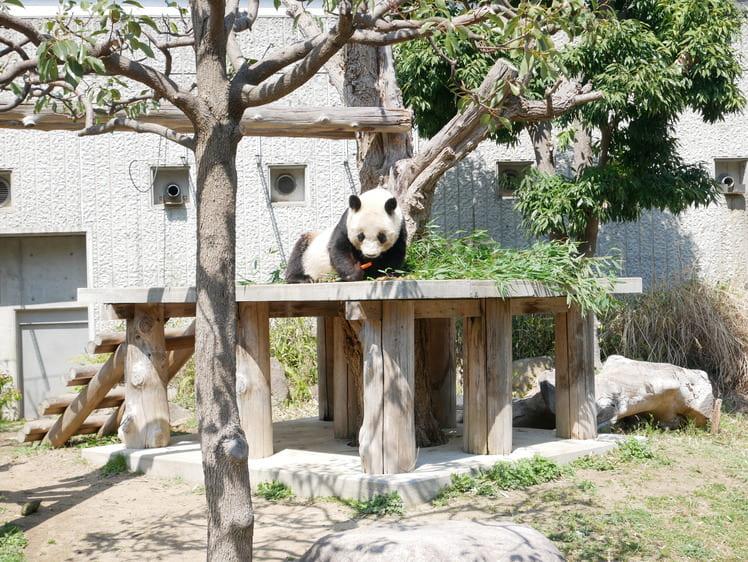 王子動物園のパンダ