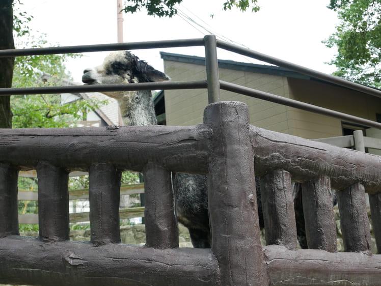 五月山動物園のアルパカ